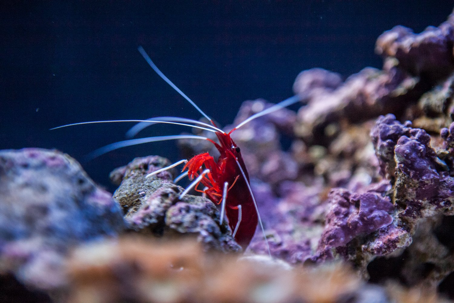 Debelius Cleaner Shrimp