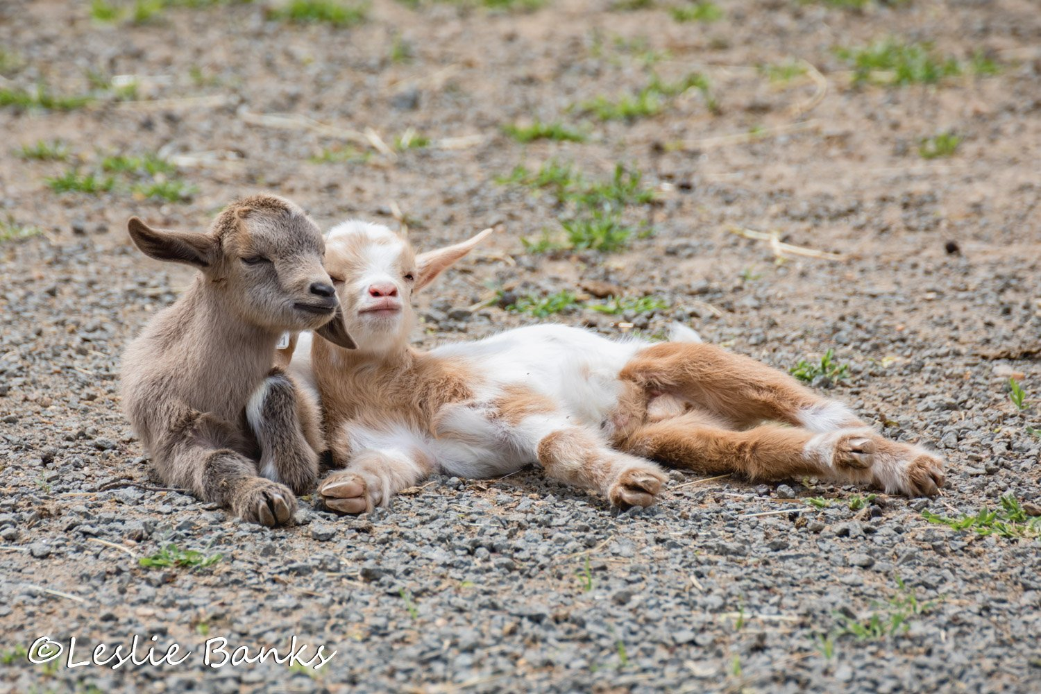 Adorable baby goats, or kids