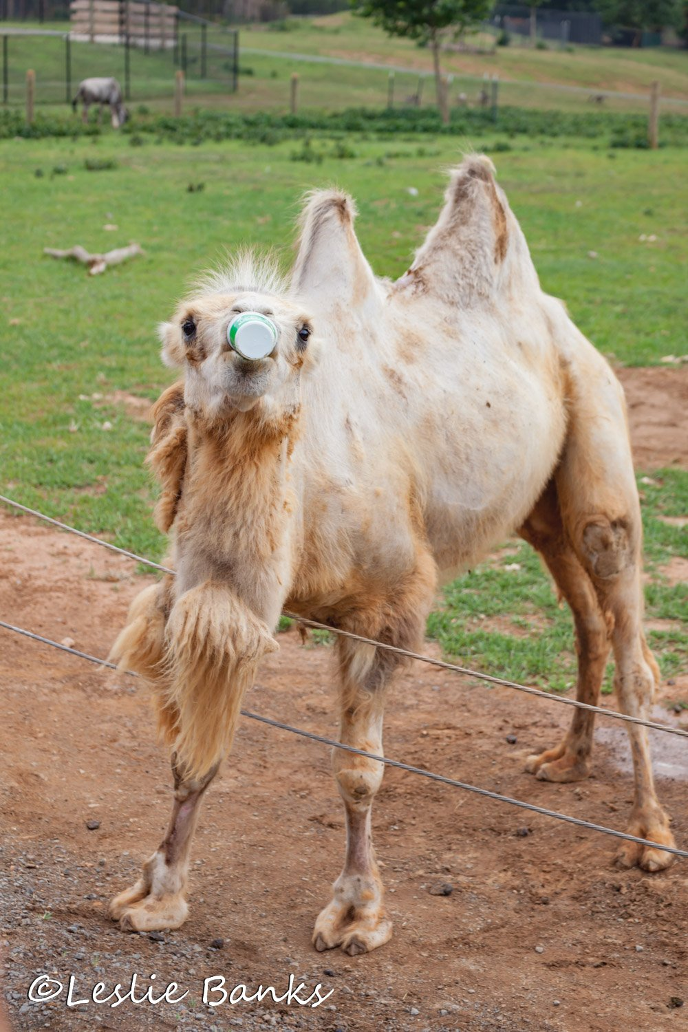 Camel eating a cup