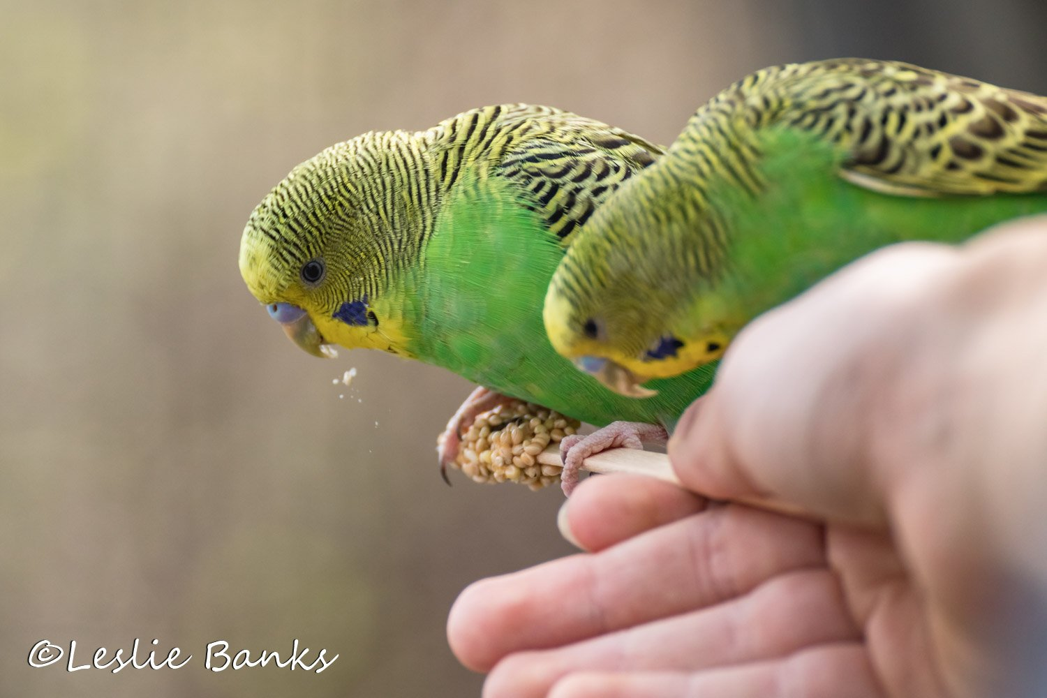 Budgie Eating Seeds